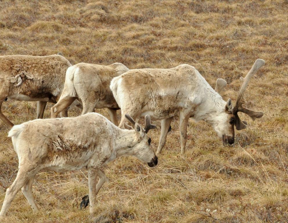 Caribou | Deadhorse, Alaska | June, 2011