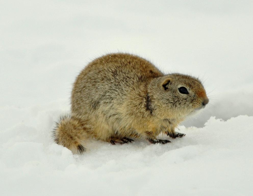 Wyoming Ground Squirrel | Walden, Colorado March, 2010