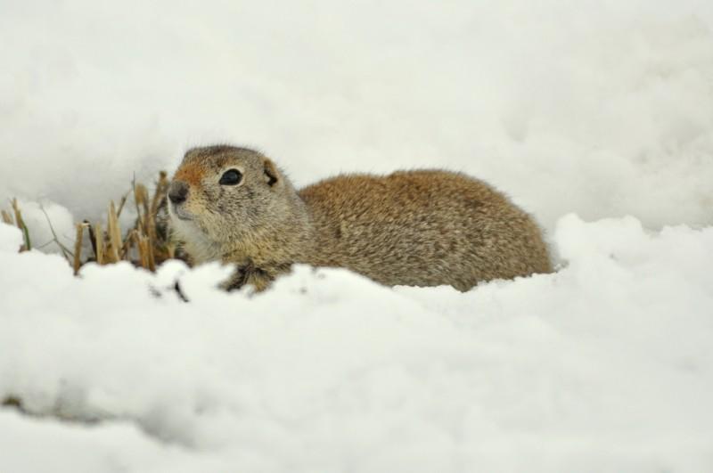 Wyoming Ground Squirrel | Walden, Colorado | March, 2010