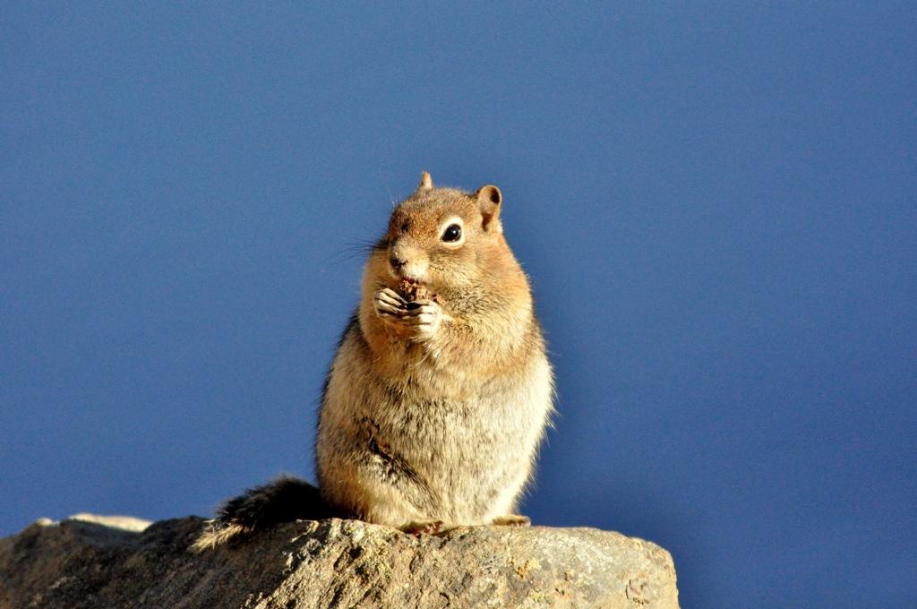 Golden-mantled Ground Squirrel | Walden, Colorado | September, 2010