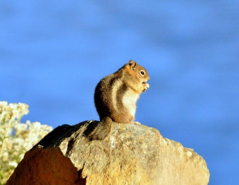 Golden-mantled Ground Squirrel   Walden, Colorado   September, 2010