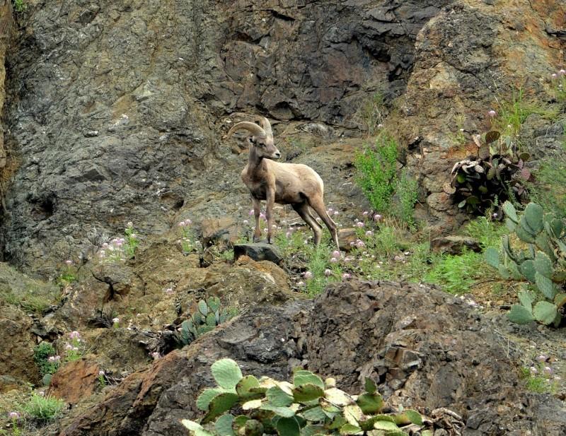 Desert Bighorn Sheep – Ram | Lordsburg, New Mexico | September, 2012