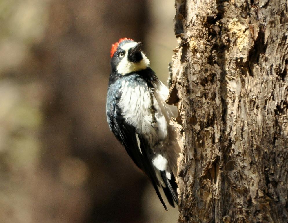 Acorn Woodpecker | Cave Creek Canyon, Arizona | September, 2012