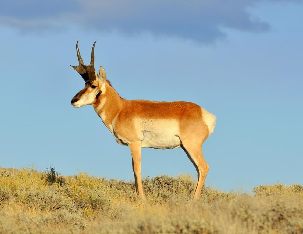 Pronghorn – Buck | Walden, Colorado | October, 2012