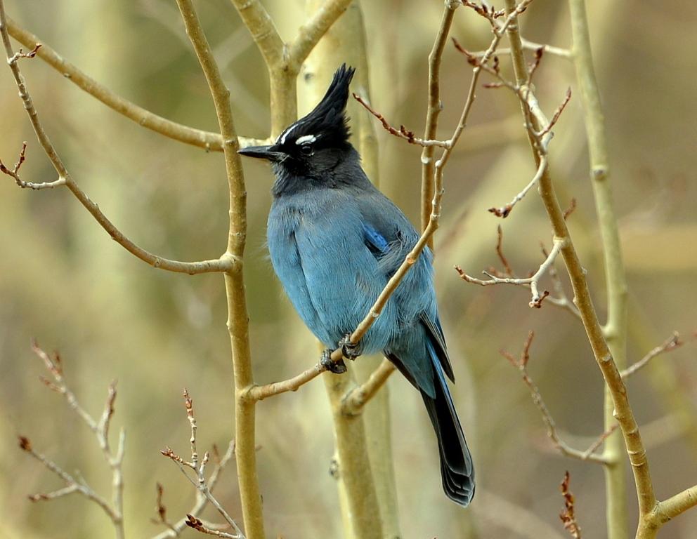 Steller's Jay | Walden, Colorado | October, 2012