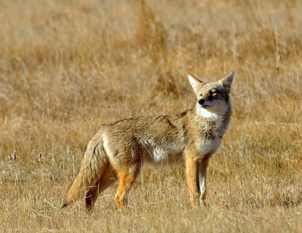 Coyote | Walden, Colorado | October, 2012