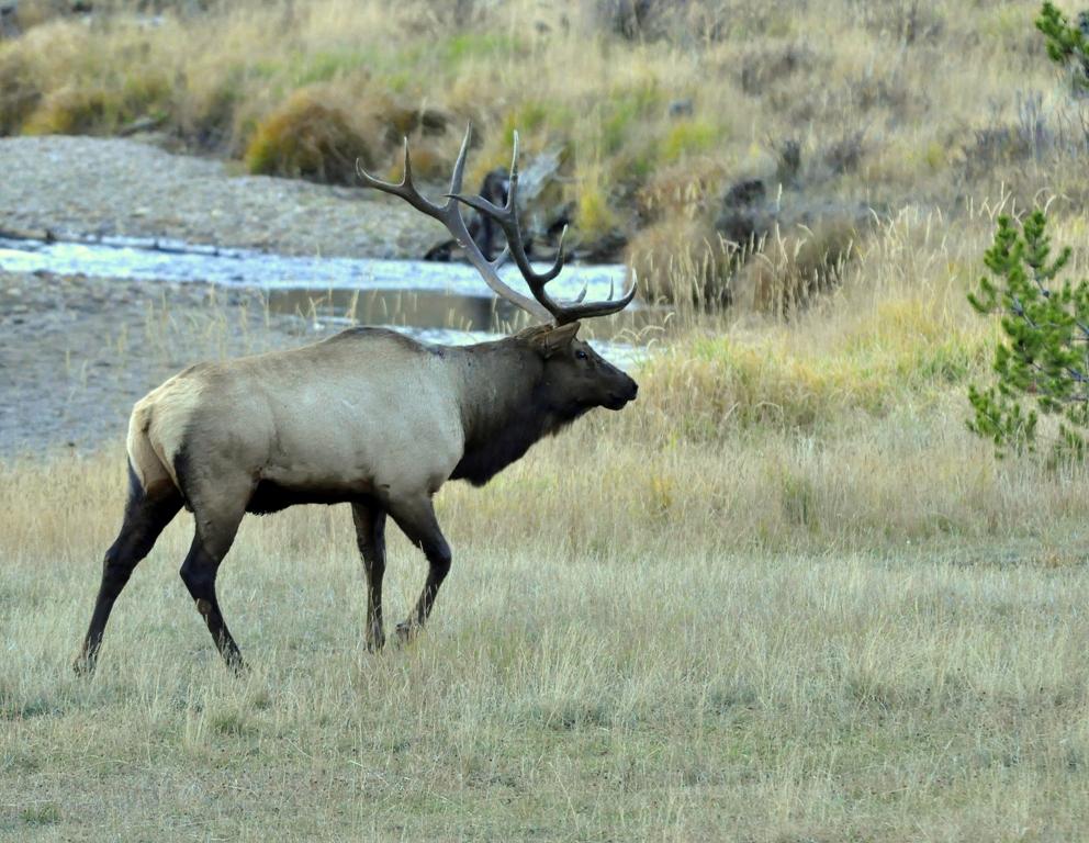 Elk – Bull | Grand Lake, Colorado | October, 2012