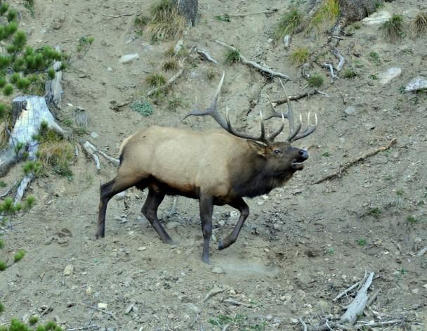 Elk – Bull   Grand Lake, Colorado   October, 2012