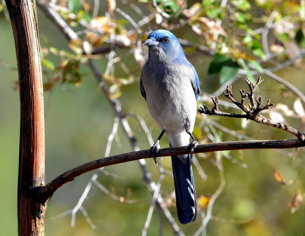 Mexican Jay | Cave Creek Canyon, Arizona | November, 2012