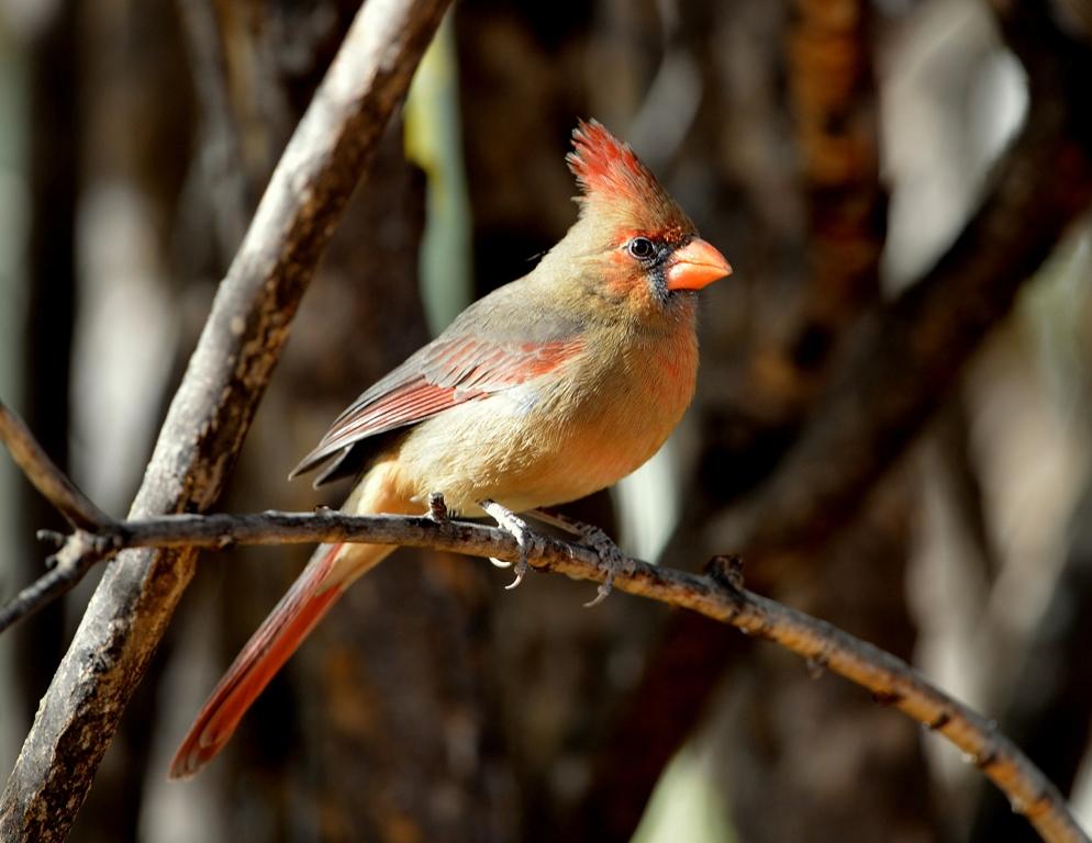 Northern Cardinal – Female | Cave Creek Canyon, Arizona | November, 2012