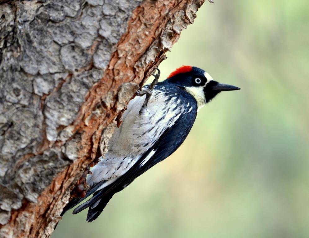 Acorn Woodpecker | Cave Creek Canyon, Arizona | November, 2012