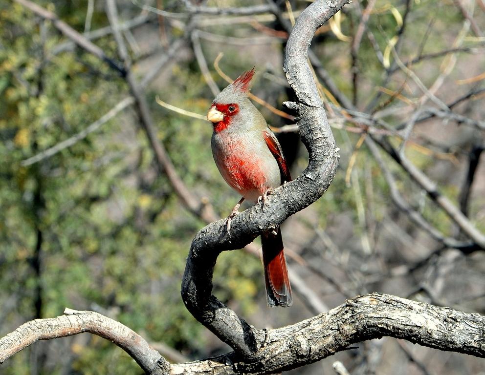Pyrrhuloxia – Male | Portal, Arizona | December, 2012