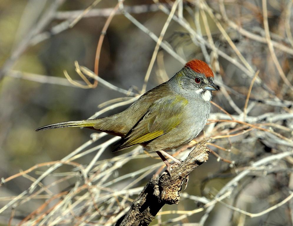 Green-tailed Towhee | Portal, Arizona | December, 2012