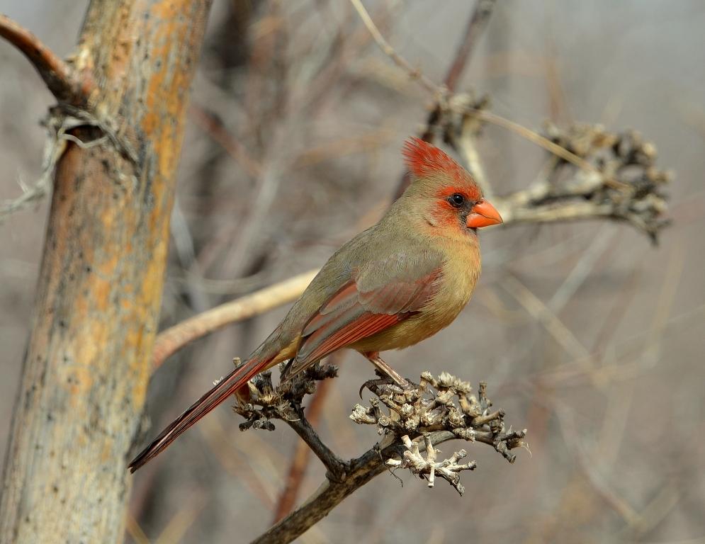 Northern Cardinal – Female | Portal, Arizona | February, 2013