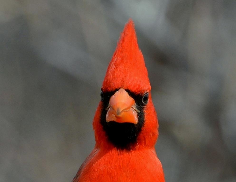 Northern Cardinal – Male | Portal, Arizona | February, 2013