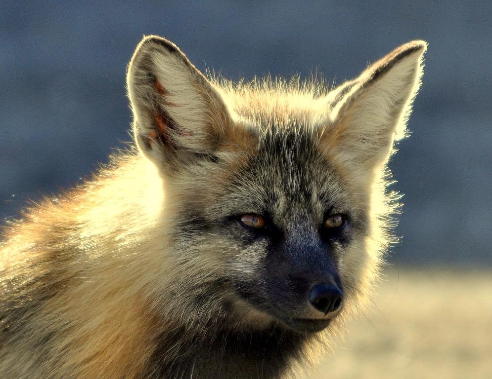 Red Fox | Prince George, B.C, | May, 2013