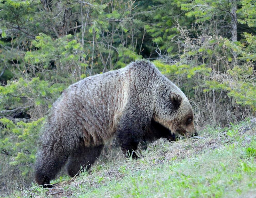 Grizzly Bear | Radium Hot Springs, B.C. | May, 2013
