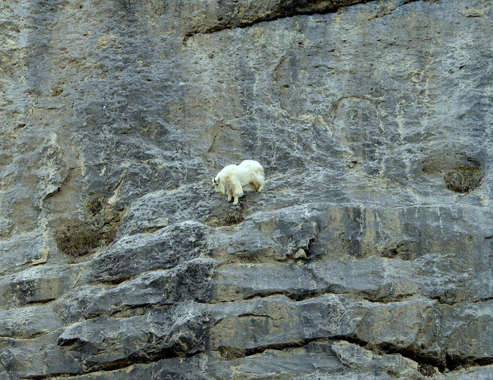 Mountain Goat | Jasper National Park | May, 2013