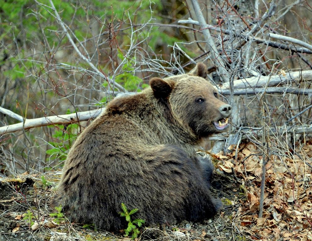 Grizzly Bear | Watson Lake, Yukon | May, 2013