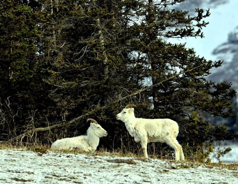 Dall Sheep – Females   Destruction Bay, Yukon   May, 2013