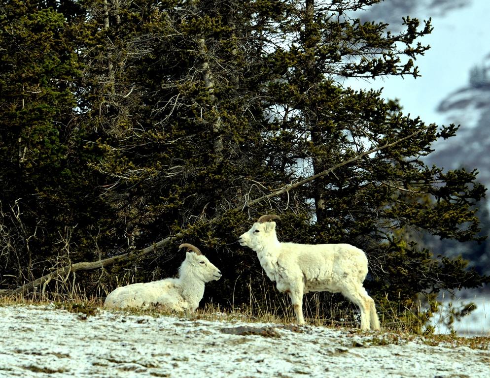 Dall Sheep – Females | Destruction Bay, Yukon | May, 2013