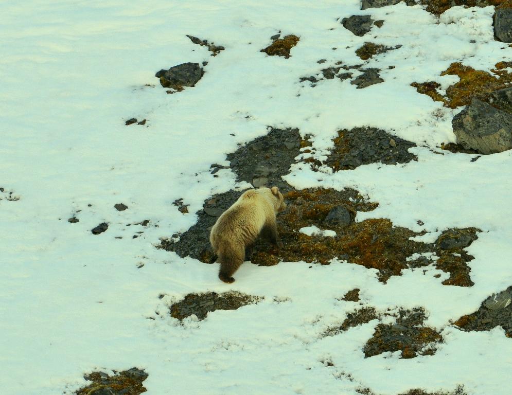 Grizzly Bear | Atigun Pass, Alaska | May, 2013