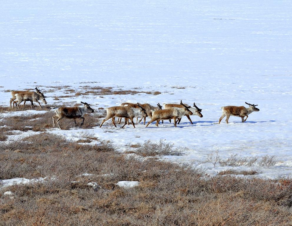 Caribou – Bulls | Atigun Pass, Alaska | May, 2013