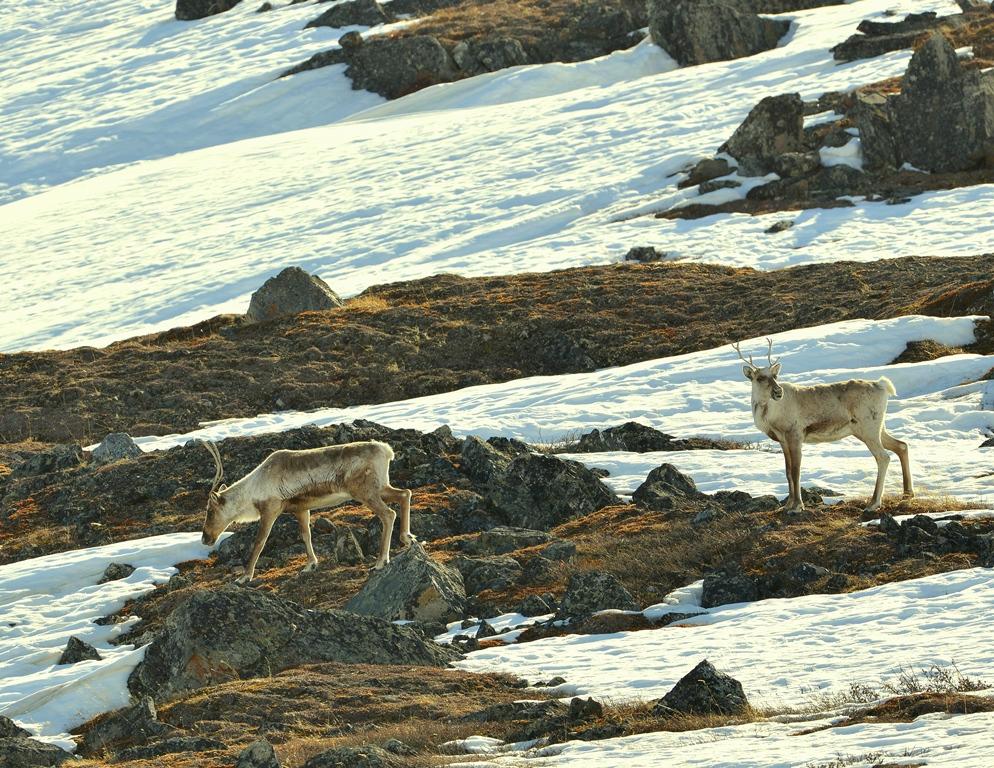 Caribou – Cows | Atigun Pass, Alaska | May, 2013