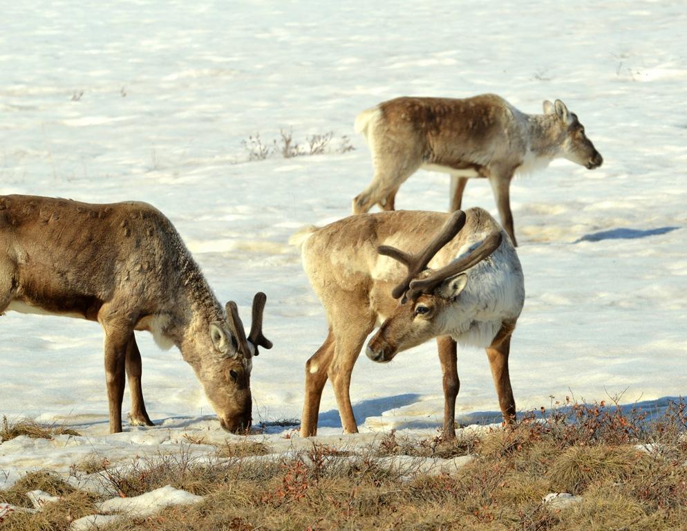 Caribou- Bulls | Deadhorse, Alaska | May, 2013