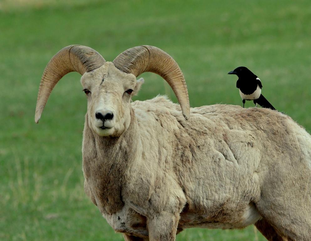 Bighorn Sheep – Ram | Cody, Wyoming | May, 2013