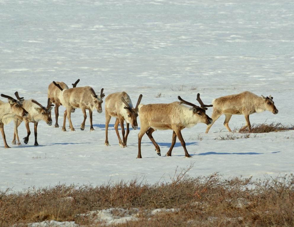 Caribou – Bulls | Deadhorse, Alaska | May, 2013