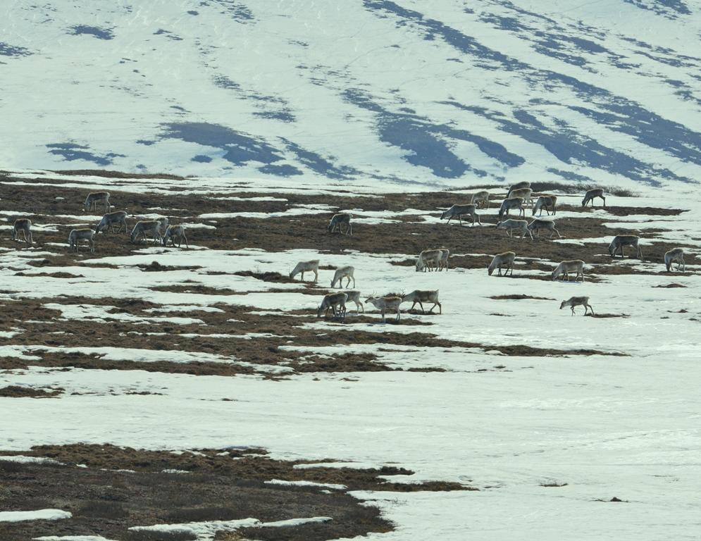 Caribou – Cows | Deadhorse, Alaska | May, 2013