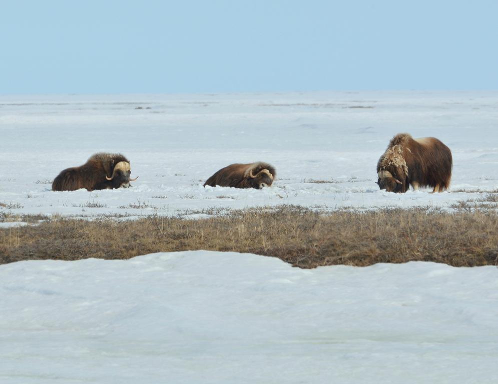 Musk Ox | Deadhorse, Alaska | May, 2013