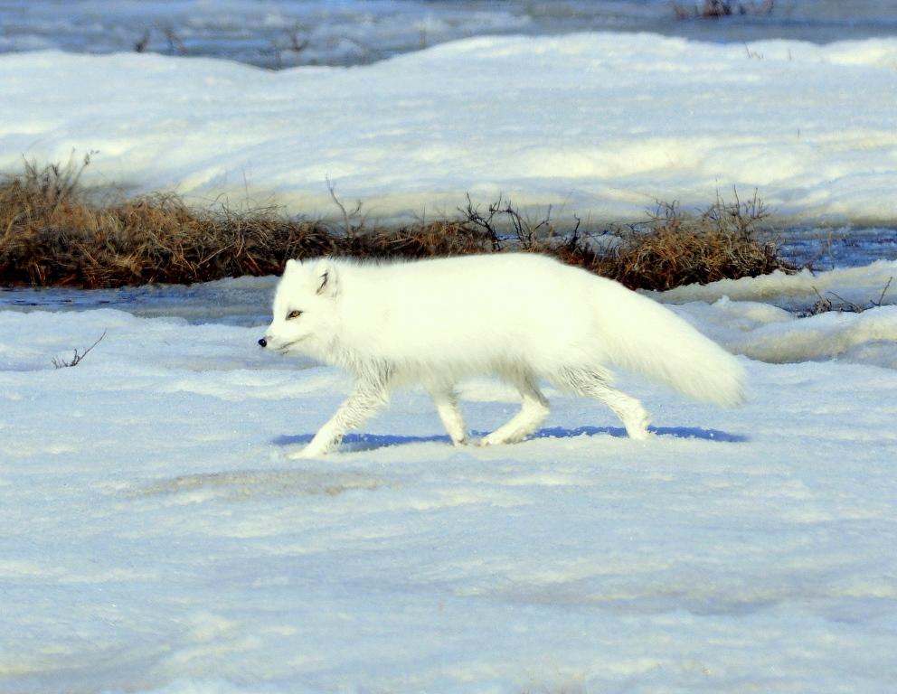 Arctic Fox | Deadhorse, Alaska | May, 2013