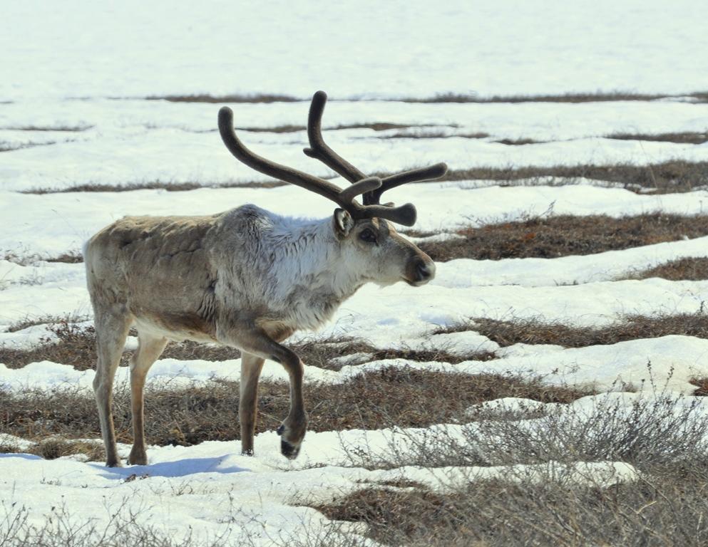 Caribou | Deadhorse, Alaska | May, 2013