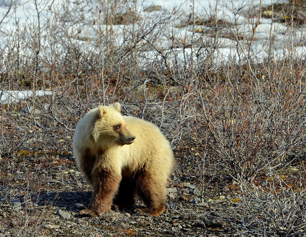 Grizzly Bear – Cub | Atigun Pass, Alaska | May, 2013