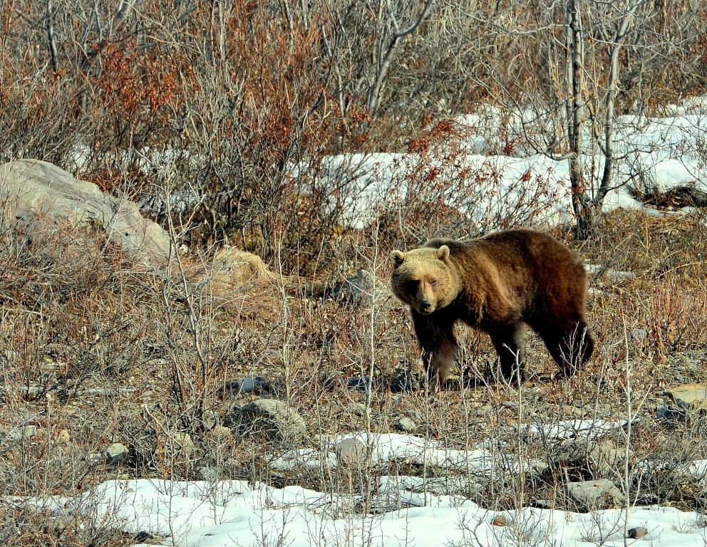 Grizzly Bear – Female | Atigun Pass, Alaska | May,2013