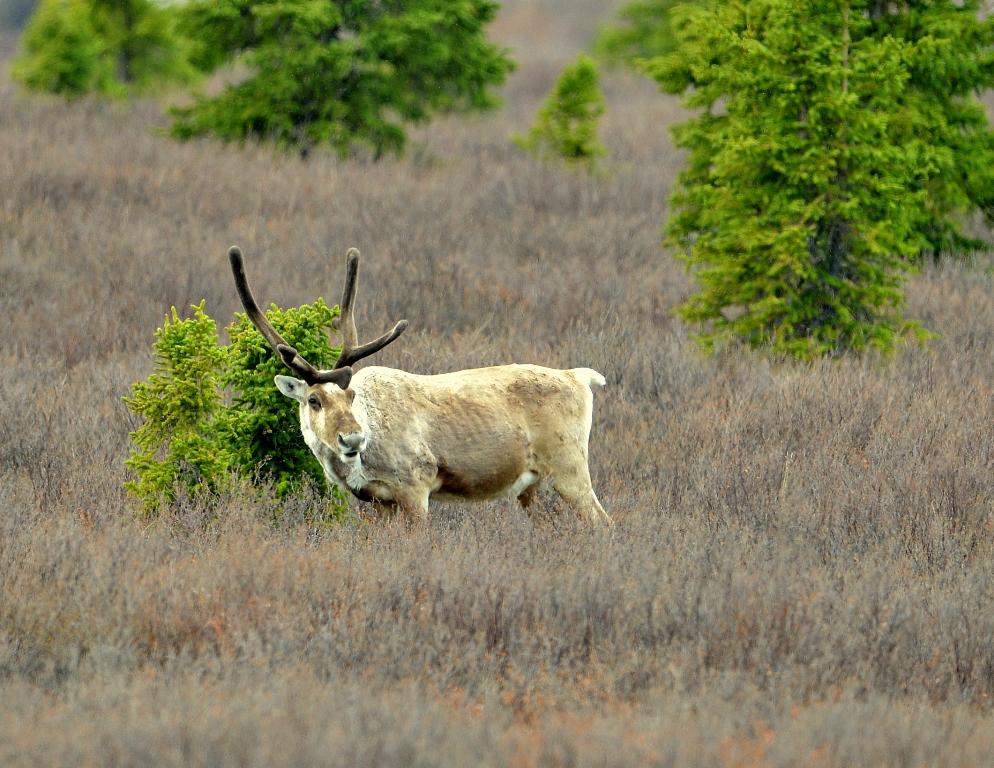 Caribou – Bull | Denali National Park | May, 2013