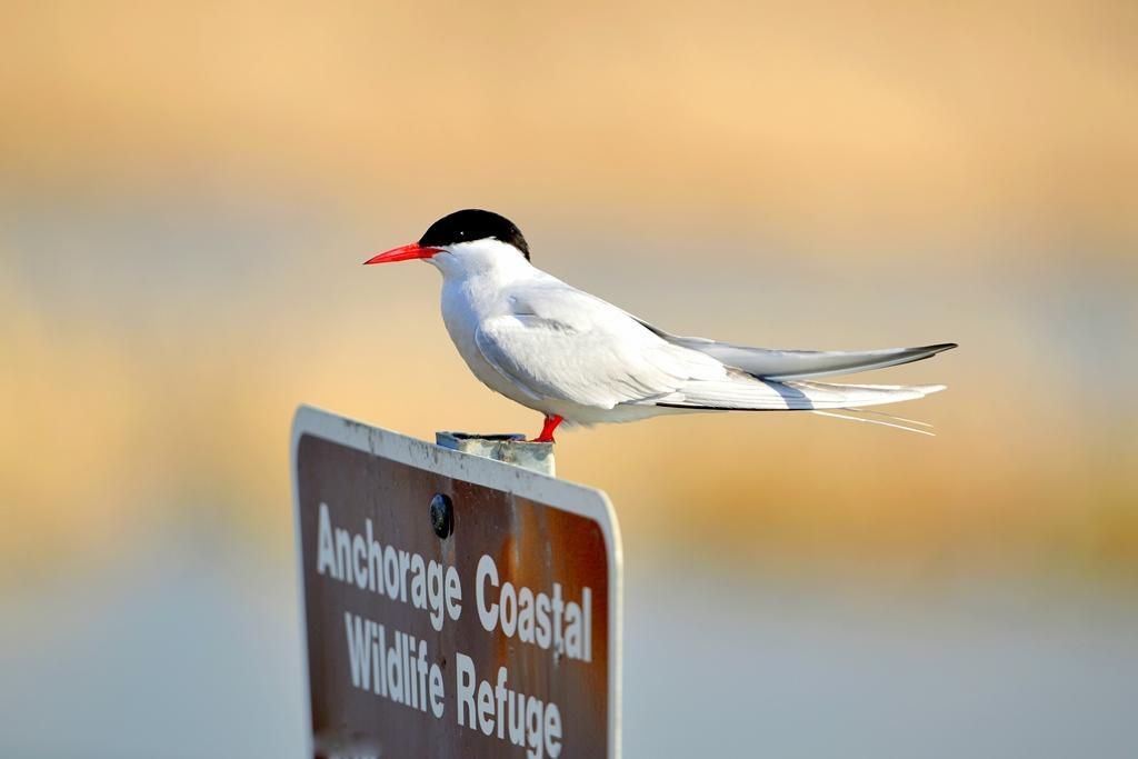 Arctic Tern | Anchorage, Alaska | May, 2013