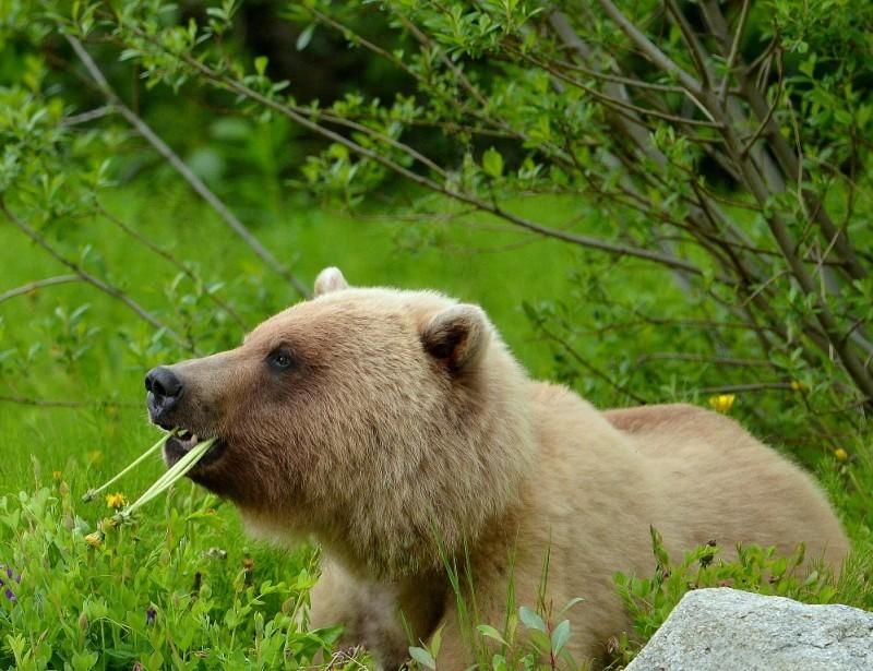 Brown Bear – Immature   Haines, Alaska   June, 2013