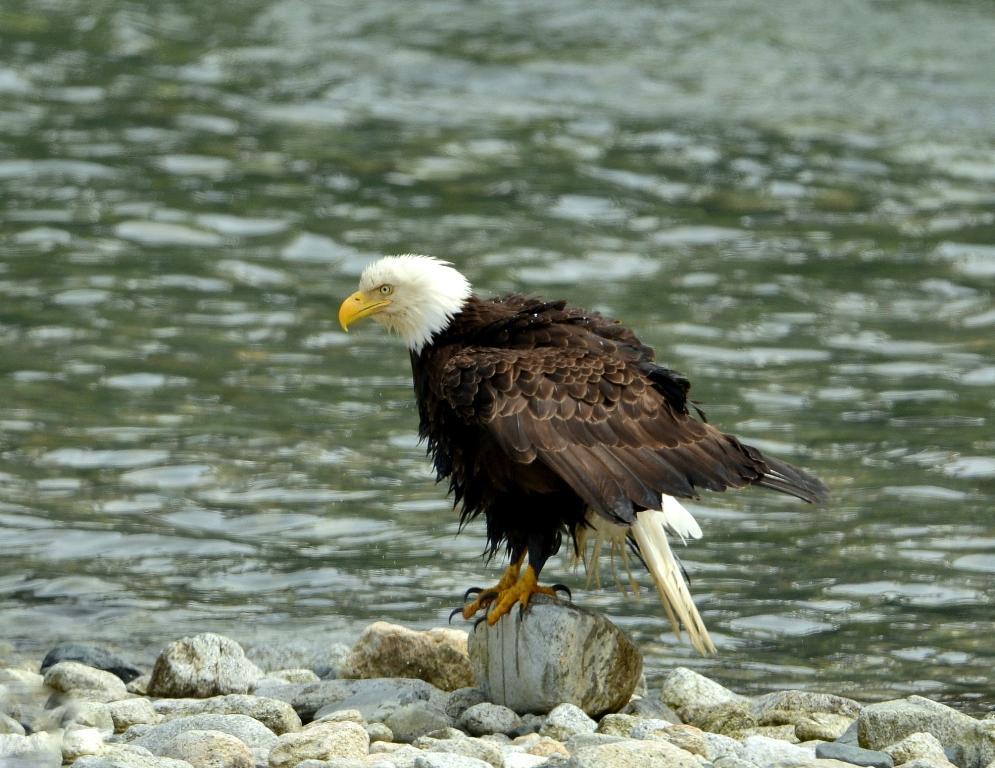 Bald Eagle| Haines, Alaska | June, 2013