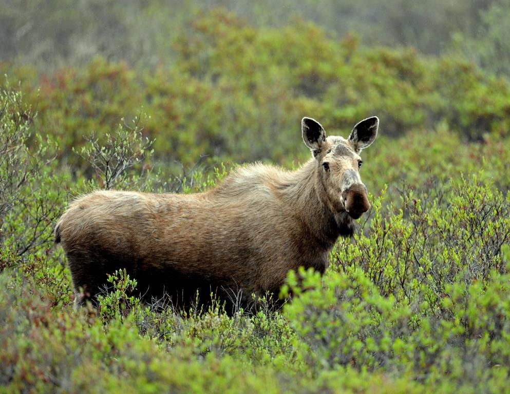 Moose – Cow | Eagle Plains, Yukon | June, 2013