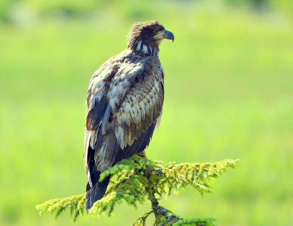 Bald Eagle – Immature | Stewart, B.C. | June, 2013
