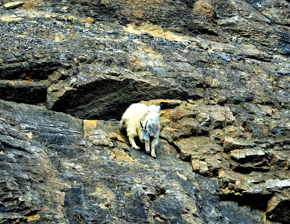 Mountain Goat   Jasper National Park   June, 2013