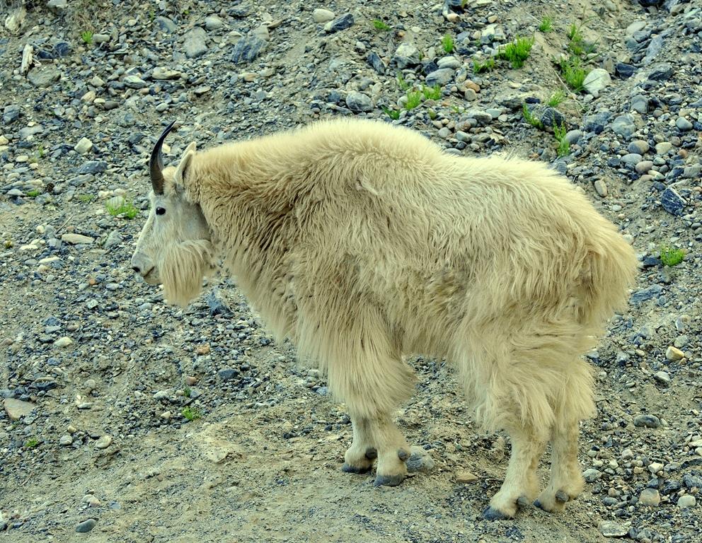 Mountain Goat   Radium Hot Springs, B.C.   June, 2013