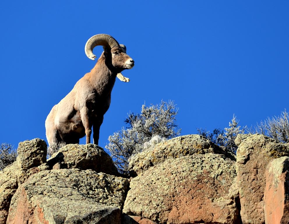 Bighorn Sheep – Ram | Pilar, New Mexico | January, 2014