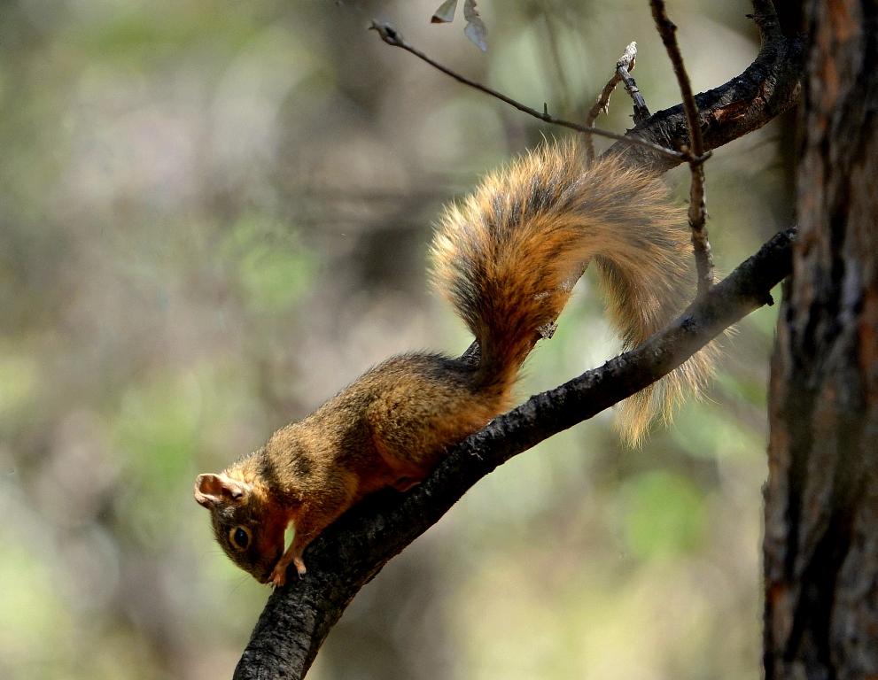 Chiricahua Fox Squirrel | Cave Creek Canyon, Arizona | October, 2013