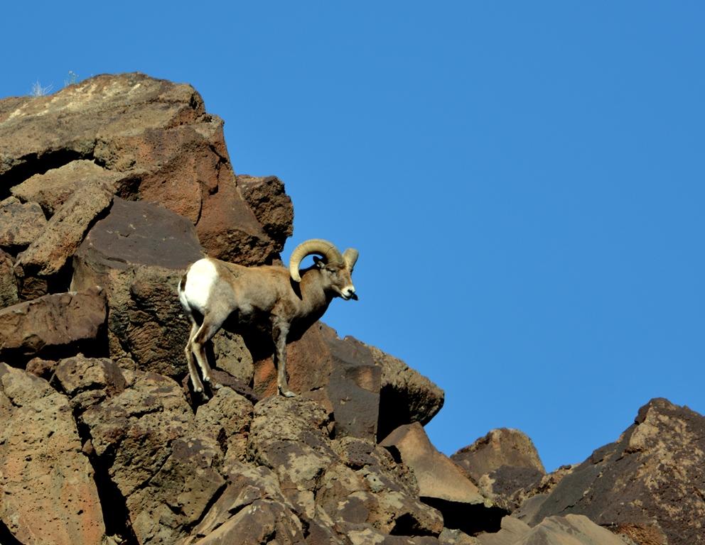Bighorn Sheep – Ram | Pilar, New Mexico | November, 2013