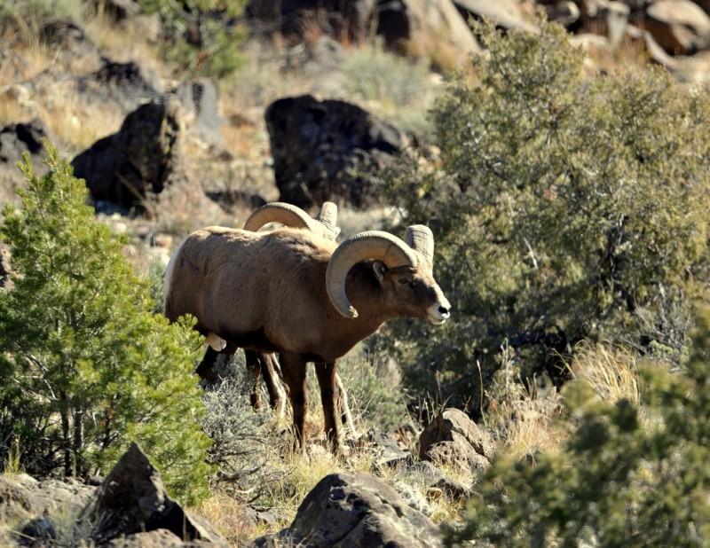 Bighorn Sheep   Pilar, New Mexico   November, 2013