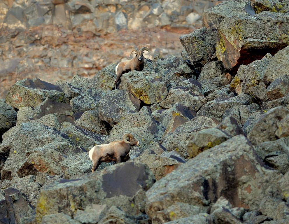 Bighorn Sheep – Rams | Pilar, New Mexico | November, 2013